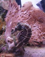 Seahorse + Shrimp Aquarium 4 by FantasyStock