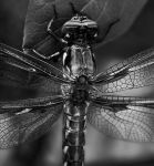 Dragonfly Up Close by Senoj