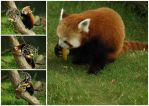 Red Panda Collage by xHalloweenx
