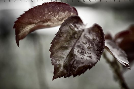 Red leaf in the rain by ecaterin