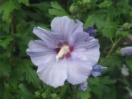 Hibiscus by lizzyc7