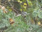 Crested tit by mossagateturtle