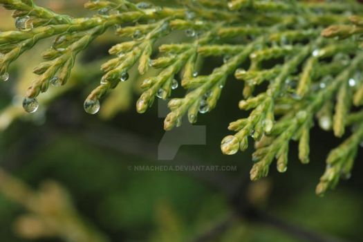 Cypress with water drops by nmacheda