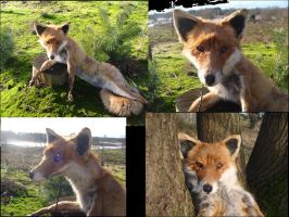 European red Fox soft mount SOLD by Lot1rthylacine