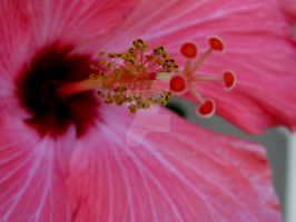 Pink Hibiscus by pearchel
