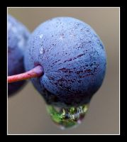 the last blueberries by LordLJCornellPhotos