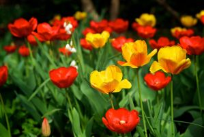 Red and Yellow Tulips by Vironevaeh