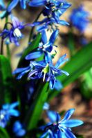 Bunches of Blue by green-gumi-bear