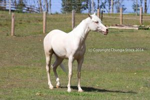 KR Arabian cremello standing front by Chunga-Stock