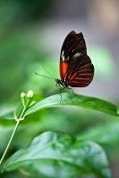 Red/Black Butterfly by SistersGrimms