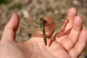 Dragonfly by SweetMysterium