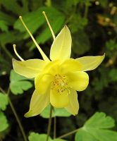 Fragile Yellow Aquilegia by JocelyneR