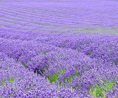 Kent Lavender by Paddington-Owl