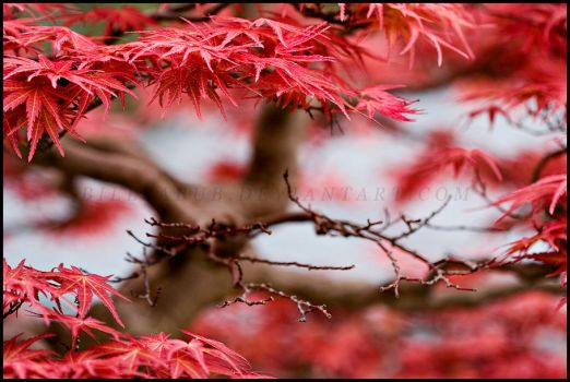 Fiery Bonsai by billsabub
