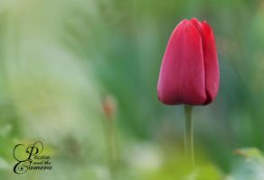 Red Tulip by PassionAndTheCamera