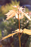 Leaves in  Sunlight. by CryingSoulGirl
