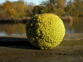 Osage orange by LManuel47