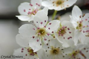 White Cherry Blossom by poetcrystaldawn