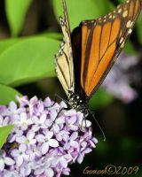 Monarch  Butterfly by Gooiool
