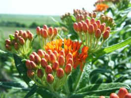 Butterfly Milkweed by Eclipsed05