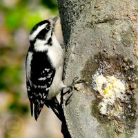 Woodpecker by Littography