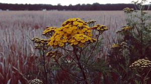 yellow bloom and grainfield by JulLoy