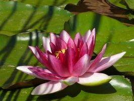 Water lily 1 by eftichis