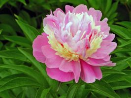 Peony with nice colours 230508 by es32