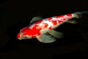 red fish 2 by oxygun