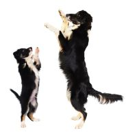 Border collie Goodwin in 2 and 6 months by Vikarus