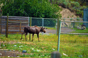 Canadian Moose by Qexx