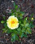 Yellow tea hybrid rose bush by virnagray