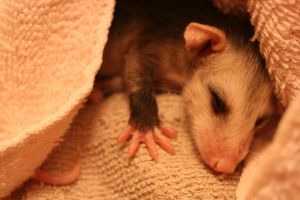 Baby Possum 4 by Dellessanna