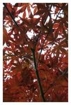 The Autumn's Lovely Red by Neho