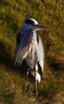 Grey Heron by Dynnnad