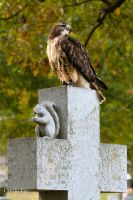 Red Tail Hawk by lost-nomad07
