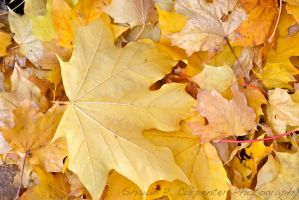 Shades of Yellow by spcbrass
