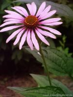 Pink Black Eyed Susan by caramelsundae203