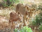 Lioness and antelope calf by lisa-im-laerm