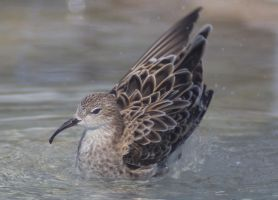 Charadriid II by Parides