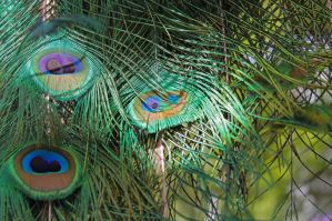 Peacock Feathers by Fritters