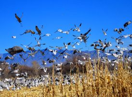 snow geese and cranes by honda-vfr
