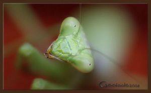praying mantis by Gooiool