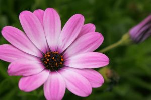 pink flower by phoTOMgraphy
