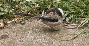 Longtailed Tit by Xs9nake