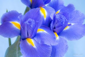 Iris Still Life by melmaya