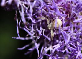 Crab Spider on Purple Flower by Caloxort