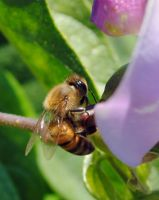 Busy honey bee by fosspathei