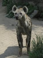 Spotted Hyena 26 by animalphotos