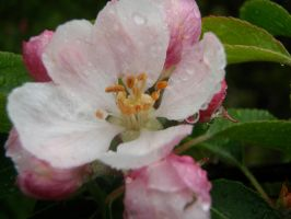 Apple Blossom by Reflection-Of-Roses
